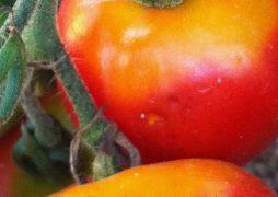 tomaten-grünkragenkrankheit-gelbkragenkrankheit-blogpost